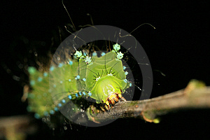 Green Water Moth Larvae Royalty Free Stock Image - Image: 8151856