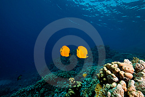 Masked Butterflyfish Royalty Free Stock Images - Image: 8157869