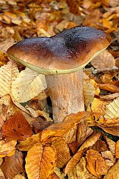Mushroom Boletus Royalty Free Stock Image - Image: 8160666