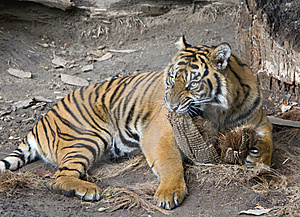 Tiger Royalty Free Stock Image - Image: 8165936