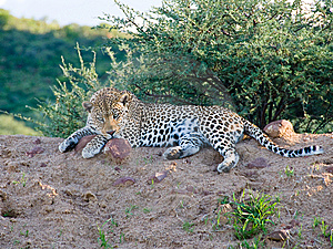 Leopard With Menacing Stare, Namibia Royalty Free Stock Photography - Image: 8166877