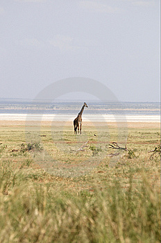 Alone Africans Giraffe Royalty Free Stock Image - Image: 8169056