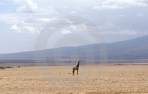 Alone Africans Giraffe Royalty Free Stock Photos - Image: 8169148