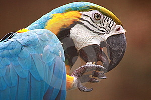 Blue-and-gold Macaw Stock Image - Image: 8170831