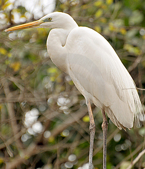 White Heron Royalty Free Stock Image - Image: 8174516