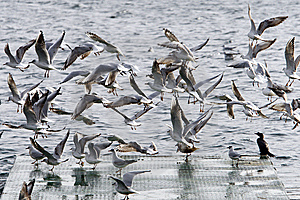 Gulls Flying Stock Images - Image: 8175034