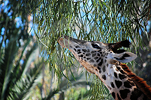 Baby Giraffe Royalty Free Stock Images - Image: 8176109