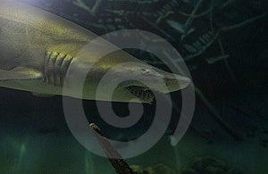 Lemon Shark Royalty Free Stock Images - Image: 8177419