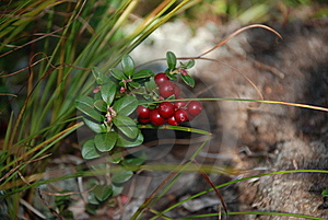 Cowberry Stock Images - Image: 8177604