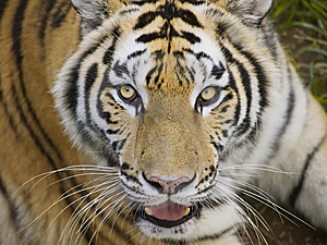 Tiger Looking Back At You Royalty Free Stock Images - Image: 8183619