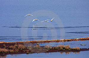 Flying Swans Royalty Free Stock Photography - Image: 8186327