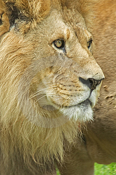 Lion Royalty Free Stock Images - Image: 8188949