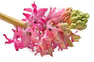 Hyacinth Stock Photo - Image: 8189480