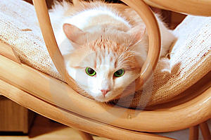 Green Eye Cat Royalty Free Stock Images - Image: 8192709