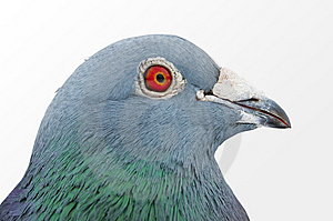 Pigeon Royalty Free Stock Photos - Image: 8199878