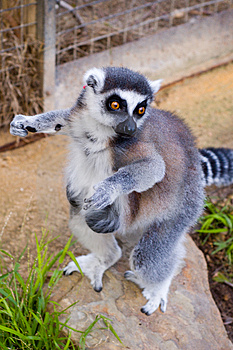 Cheeky Lemur Stock Images - Image: 822094
