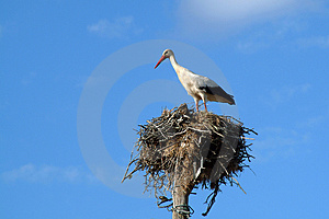 Stork In The Nest Stock Photo - Image: 829500