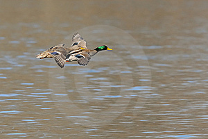 Mallards In Flight Royalty Free Stock Images - Image: 8200849