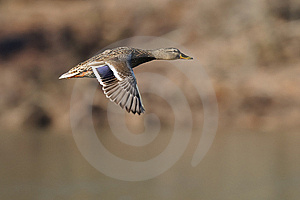 Mallard Hen In Flight Royalty Free Stock Image - Image: 8201036