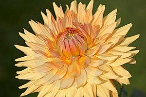 Orange Dahlia Royalty Free Stock Image - Image: 8204166