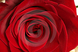 Dark Red Rose Macro Royalty Free Stock Photo - Image: 8205825