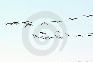 Flying Canada Geese Royalty Free Stock Photos - Image: 8209058