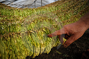 Tobacco Harvest 14 Royalty Free Stock Photos - Image: 8210968