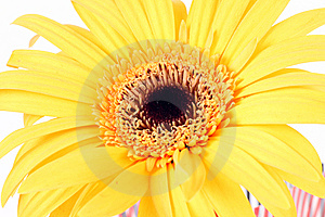 Gerber Daisy Stock Photography - Image: 8214662