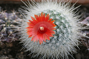 A Blooming Cactus Plant Stock Image - Image: 8215641