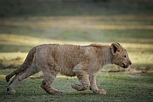 Young Lion Stock Photography - Image: 8219002