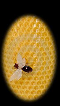 The Bee Sits On Yellow Equal Honeycombs Royalty Free Stock Photos - Image: 8219028