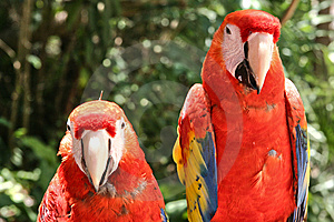 Two Scarlet Macaw Parrots Royalty Free Stock Images - Image: 8219049