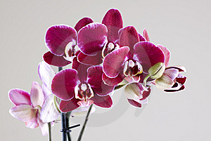 Orchids Royalty Free Stock Image - Image: 8219296