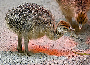 Ostrich Nestling 1 Stock Photography - Image: 8220702