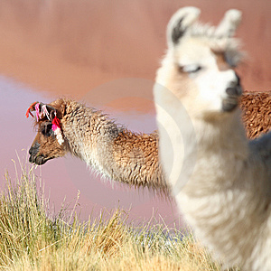 Lama Near Laguna Colorado Royalty Free Stock Photo - Image: 8225435