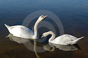 Two White Swan Royalty Free Stock Images - Image: 8227079