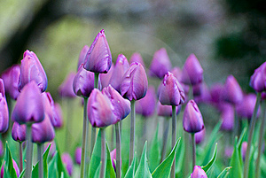 Purple Tulips Royalty Free Stock Photo - Image: 8228855