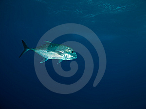 Giant Trevally Stock Image - Image: 8229861