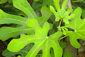 Finger Leaves Stock Images - Image: 8230944