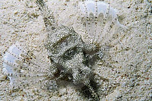Turkeyfish In Red Sea Royalty Free Stock Images - Image: 8231309