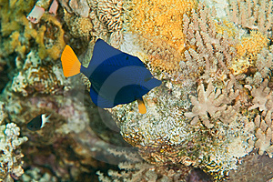 Yellowtail Tang Juv. Royalty Free Stock Photos - Image: 8232128