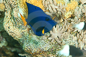 Yellowtail Tang Juv. Royalty Free Stock Photo - Image: 8232165