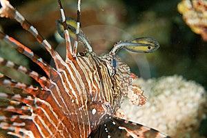Yellowtail Tang Juv. Royalty Free Stock Photography - Image: 8232197