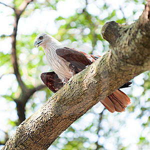 Brahminy Kite In Tree Royalty Free Stock Images - Image: 8234579