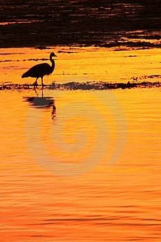 Heron At Sunset Royalty Free Stock Image - Image: 8243986