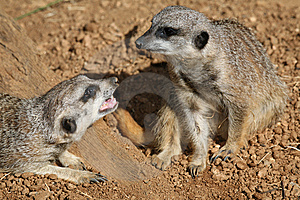 Two Meerkats Frolicking Royalty Free Stock Images - Image: 8244959