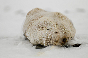 Blond Fur Seal Stock Photography - Image: 8247922
