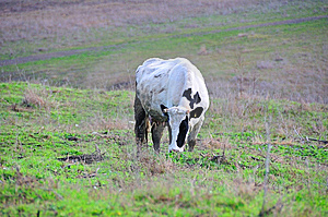 Grazing Cow Royalty Free Stock Photo - Image: 8252255