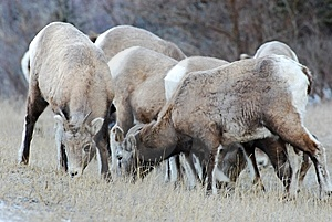 Moutain Sheep Royalty Free Stock Photography - Image: 8252777