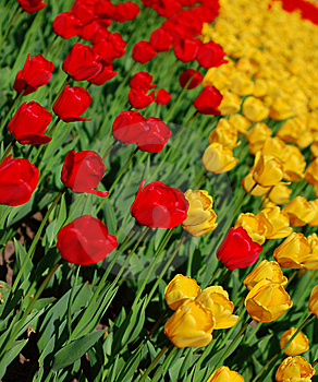 Yellow And Red Tulips Royalty Free Stock Photos - Image: 8254328